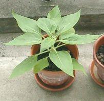 mini_sunflower06.jpg
