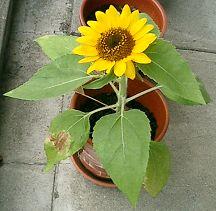 mini_sunflower07.jpg