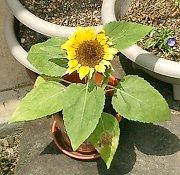 mini_sunflower08.jpg