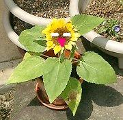 mini_sunflower09.jpg